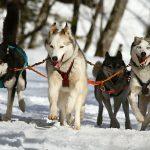 chiens de traîneau Auvergne