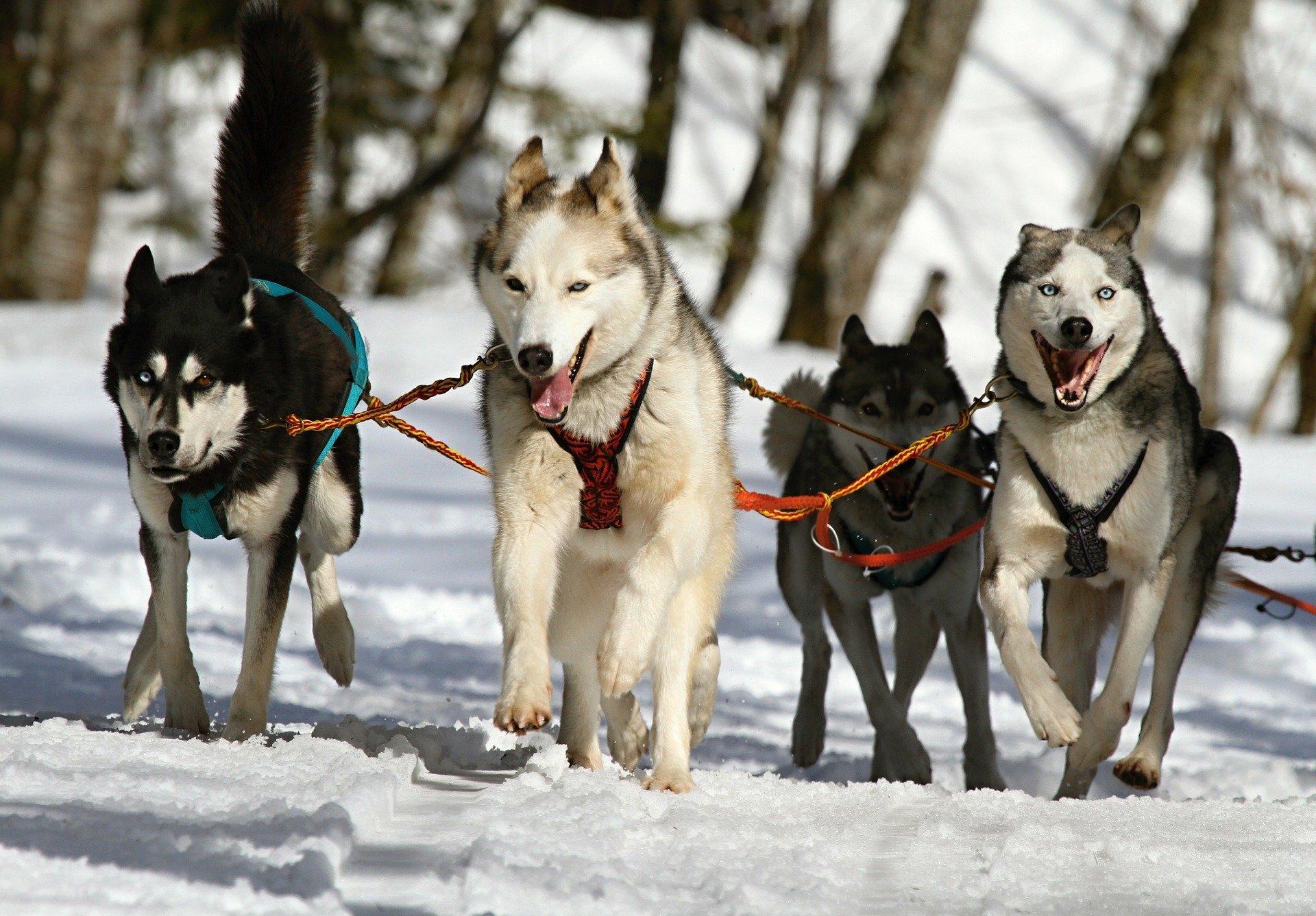 Vivez une sortie avec des chiens de traîneau en Auvergne